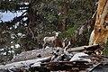 Ovis canadensis sierrae FWS 17402.jpg
