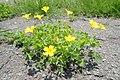 Oxalis corniculata P5191538.jpg