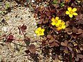 Oxalis corniculata sl4.jpg
