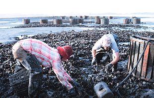 Raccolta a mano di ostriche a Willapa Bay, Washington, Stati Uniti, nell'ottobre 1969