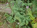 P1050788-Verbena officinalis.JPG