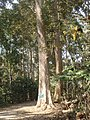 P69 Lawachara National Park, In Moulovibajar, Bangladesh.jpg