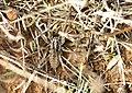PN del Garraf - Mimetismo - Mimicry - araña lobo (3984732865).jpg