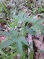 Paalmuthukkinkizhangu Plant.JPG