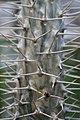 Pachypodium lamerei 5zz.jpg