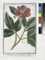 Paeonia mas flores incarnato - Peonia maschio - La Pivoine m^ale (NYPL b14444147-1130595).tiff