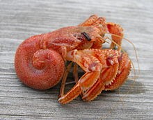 Image shows a hermit crab out of its shell. It is all pink and orange, and its back end is remarkably curly. The front bits are a jumble of claws.