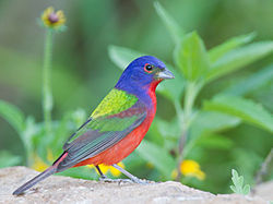 Painted Bunting by Dan Pancamo.jpg