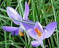 Pale purple crocuses - geograph.org.uk - 1173090.jpg