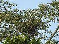 Pallas's Fish-eagle Haliaeetus leucoryphus nest by Dr. Raju Kasambe DSCN0662 (13).JPG