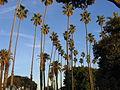 Palm trees in Santa Monica.JPG