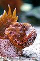 Palma Aquarium-Pez escorpion.jpg