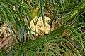 Palma robelina (Phoenix roebelenii) (14602447233).jpg