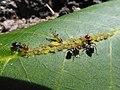Panaphis juglandis and Crematogaster scutellaris 01.jpg