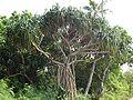 Pandanus tectorius roots&branches.jpg