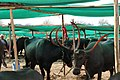 Pandharpuri Breed Cattle at Government Fodder Camp in drought affected Osmanabad District.jpg