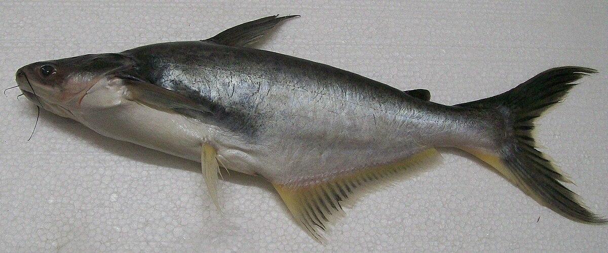 Как выглядит рыба пангасиус