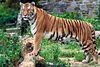 Panthera tigris tigris.jpg