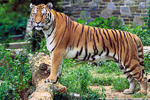 Photograph of a Bengal Tiger