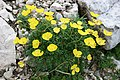 Papaver alpinum (48370291961).jpg