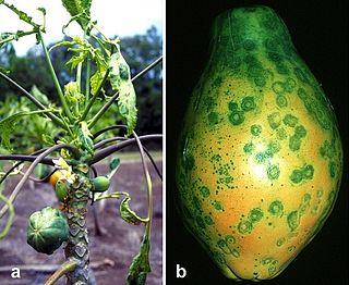 <i>Papaya ringspot virus</i> Species of virus