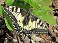 Papilio machaon (Old World Swallowtail), Elst (Gld), the Netherlands.jpg