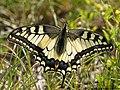 Papilio machaon 09.JPG