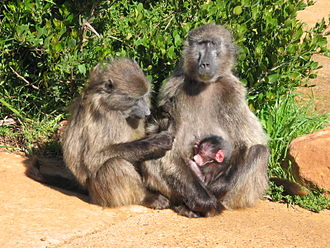 Kogelbeen Cave - Baboons that are found at the entrance of the Kogelbeen Cave