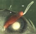 Parasite170136-fig1 Protosarcotretes nishikawai PART.png