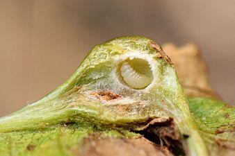 Parasitoïd of Dryocosmus kuriphilus (31299546544).jpg