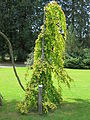Parc Fenestre (Fagus sylvatica 'pendula aurea').jpg