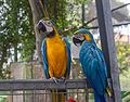 Parrots at Butterfly Park & Insect Kingdom, Sentosa 20.jpg