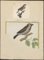 Passer domesticus - 1700-1880 - Print - Iconographia Zoologica - Special Collections University of Amsterdam - UBA01 IZ16000093.tif