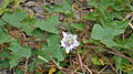 Passiflora foetida W IMG 0573.jpg