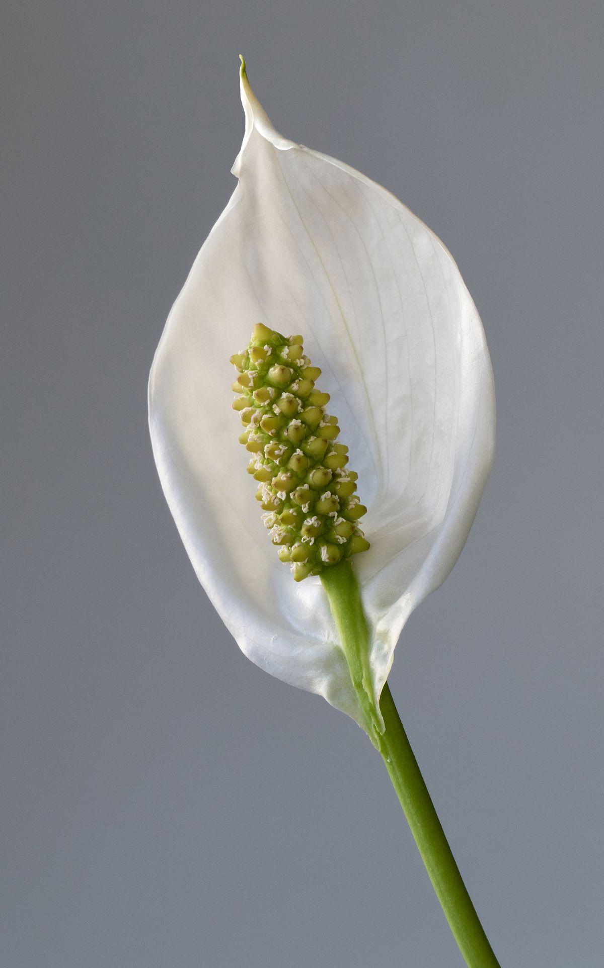 Spathiphyllum wallisii wikipedia izmirmasajfo