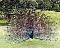 Peacock.displaying.better.800pix.jpg