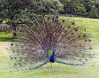 Peacock.displaying.better.800pix