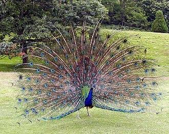 Pavo (genus) - Indian peacock (Pavo cristatus) displaying