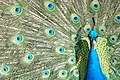 Peacock - Flickr - frielp.jpg