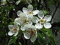 Pear blossoms.jpg