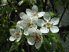 Pear blossoms.jpg