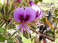 Pelargonium cordifolium Potberg 3.jpg