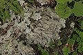 Peltigera sp. (44124741862).jpg