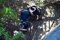 Penguins at Boulders Beach, Cape Town (25).jpg