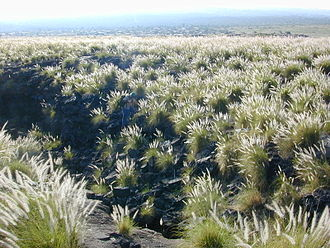 Pennisetum - Invasive Pennisetum setaceum growing on a lava flow in Hawaii