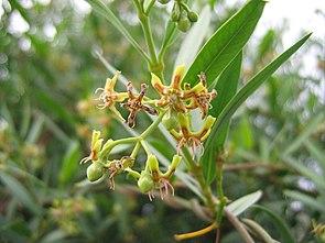 Periploca laevigata, Teneriffa, Südseite, Sukkulentenbusch