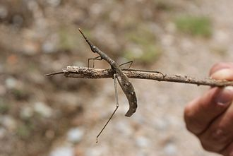 Orthoptera - Proscopiidse sp. from the Andes of Peru