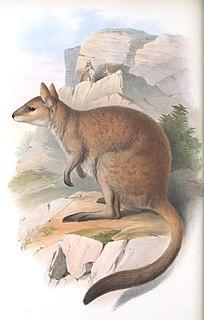 Nabarlek Species of marsupial