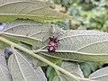 Peucetia viridana 32.jpg