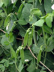 Hrach siaty (Pisum sativum)
